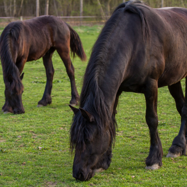 """Friesian horse mare with foal"" stock image"
