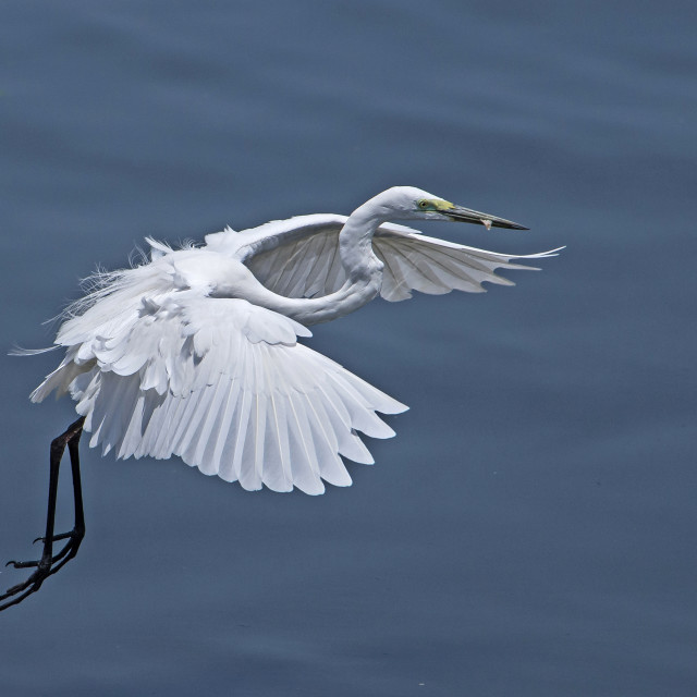 """Great White Egret Fly Past (III)"" stock image"