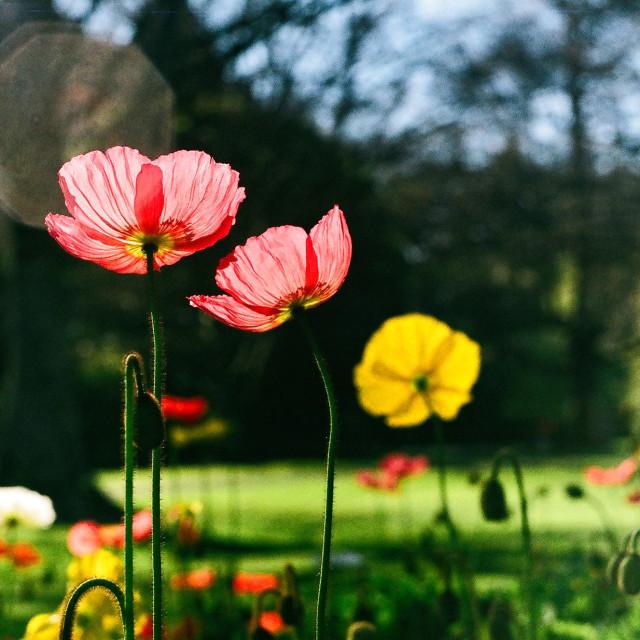 """Poppies in Queens Park"" stock image"