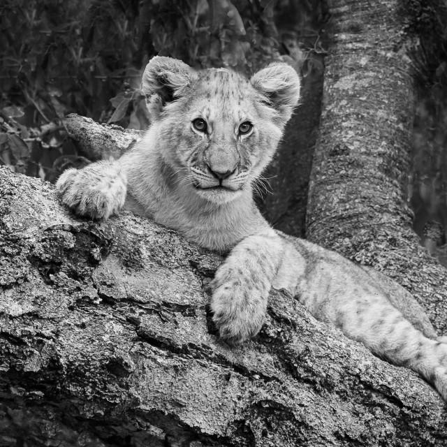 """Lion Cub - Masai Mara"" stock image"
