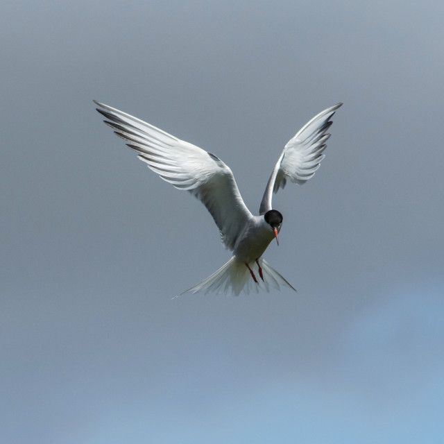 """Common Tern in Hover"" stock image"