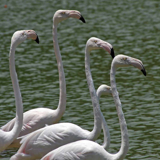 """Flamingoes Line Up"" stock image"