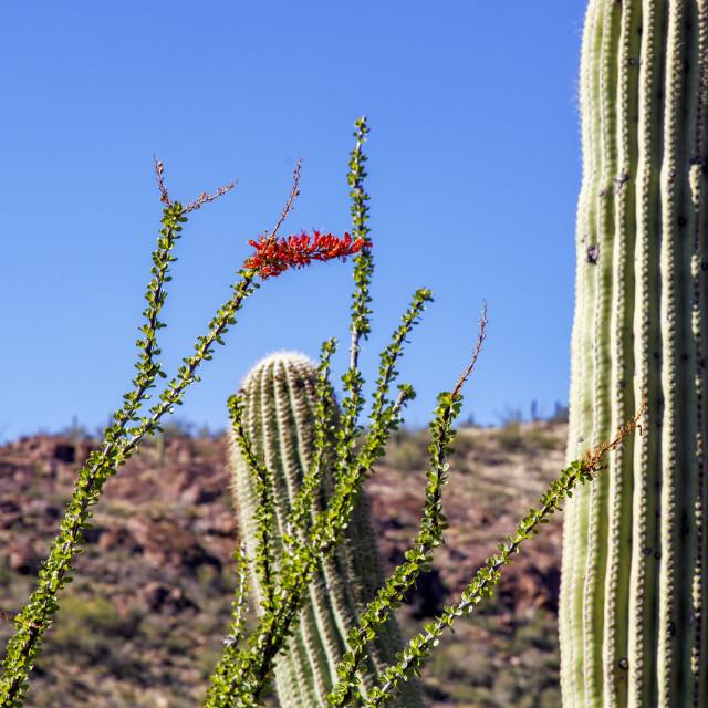 """""""Ocotillo Bloom in the Desert"""" stock image"""