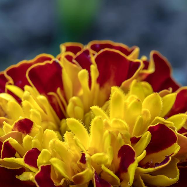 """colorful Marigold flower"" stock image"