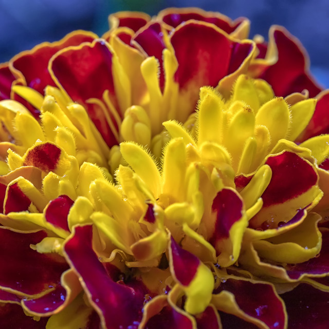 """""""colorful flower"""" stock image"""