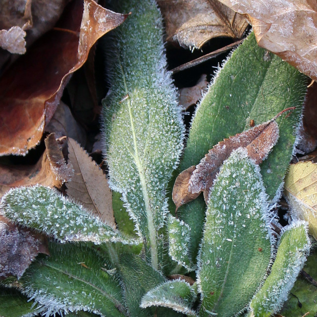 """frosty green leaves"" stock image"