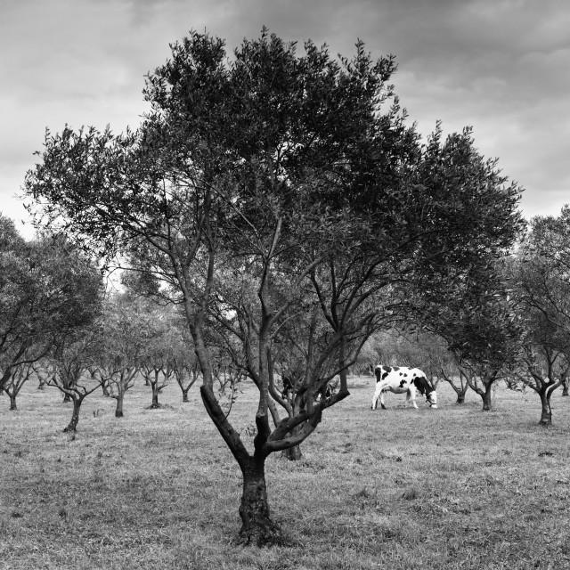 """Porquerolles olive grove"" stock image"