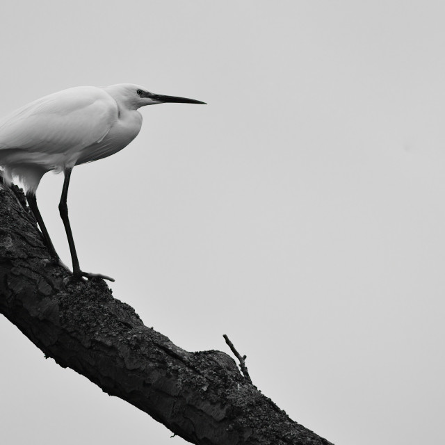 """Egret (Heron) atop a tree"" stock image"