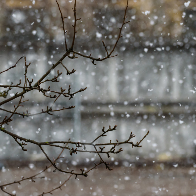"""""""Branch of tree, during snowfall."""" stock image"""