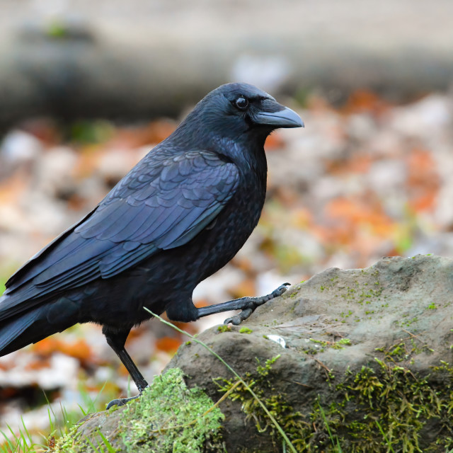 """Raven on a rock"" stock image"