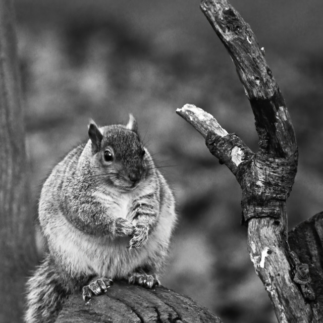"""Squirrel sitting on fallen log"" stock image"