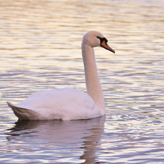 """Swan on a lake"" stock image"