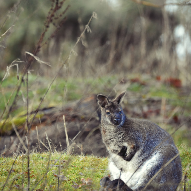"""Wallaby in the woods"" stock image"