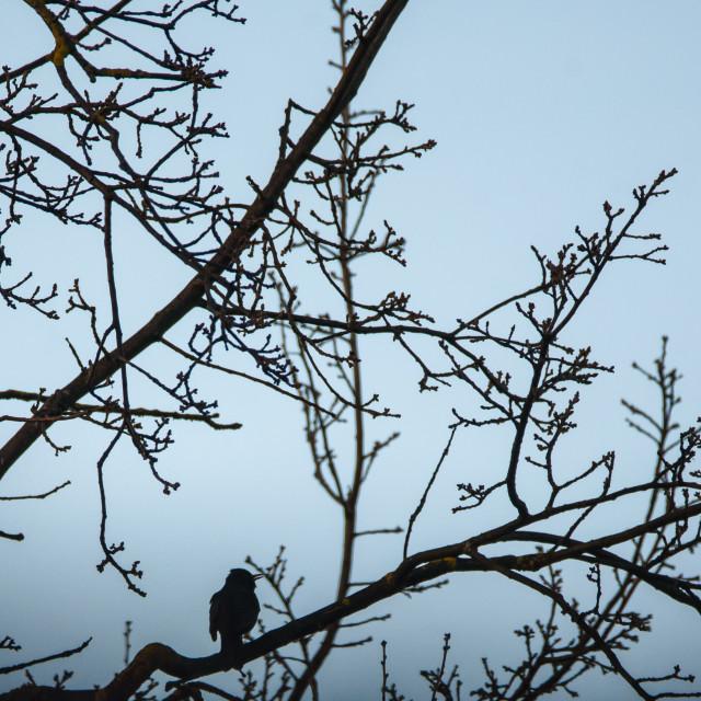"""Silhouette of Common blackbird (Turdus merula) sings on branch of tree."" stock image"