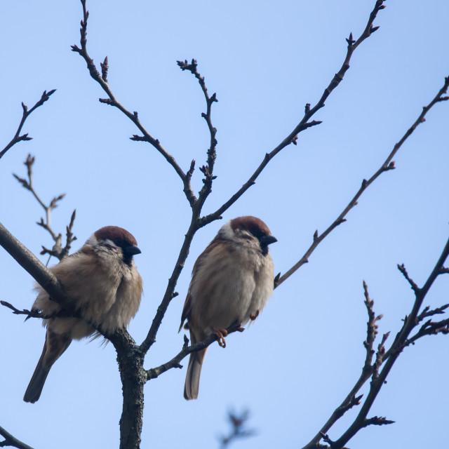 """Couple of Eurasian tree sparrow birds (Passer montanus) on branch of tree."" stock image"
