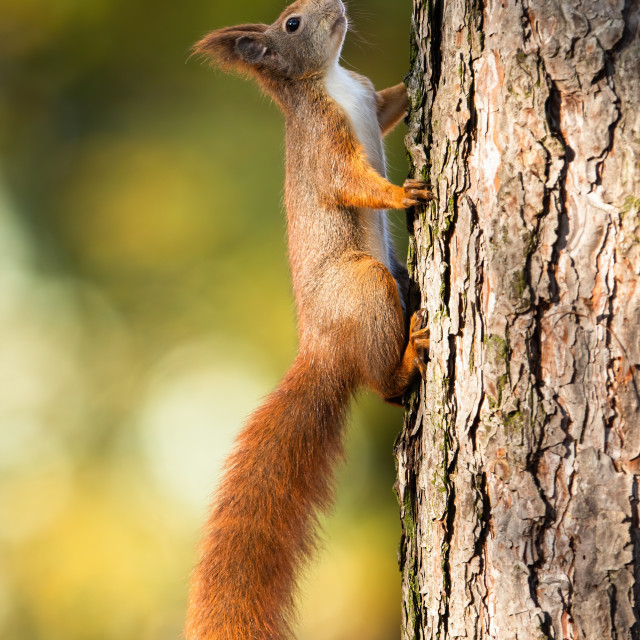 """Red squirrel climbing up a pine tree in sunlight with green blurred background"" stock image"