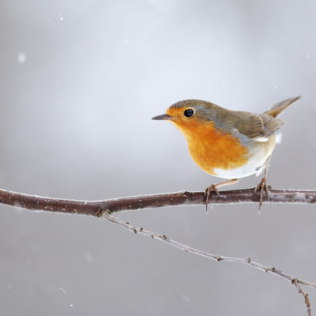 """""""European robin with orange feathers on breast sitting on a twig in winter"""" stock image"""