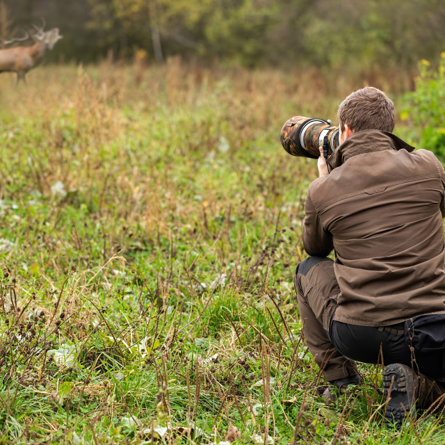 """Wildlife photographer in brown cloths taking pictures of red deer stag roaring"" stock image"