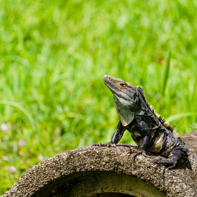 """Black Spiny Tailed Iguana (Ctenosaura similis) warming on a cement block,..."" stock image"