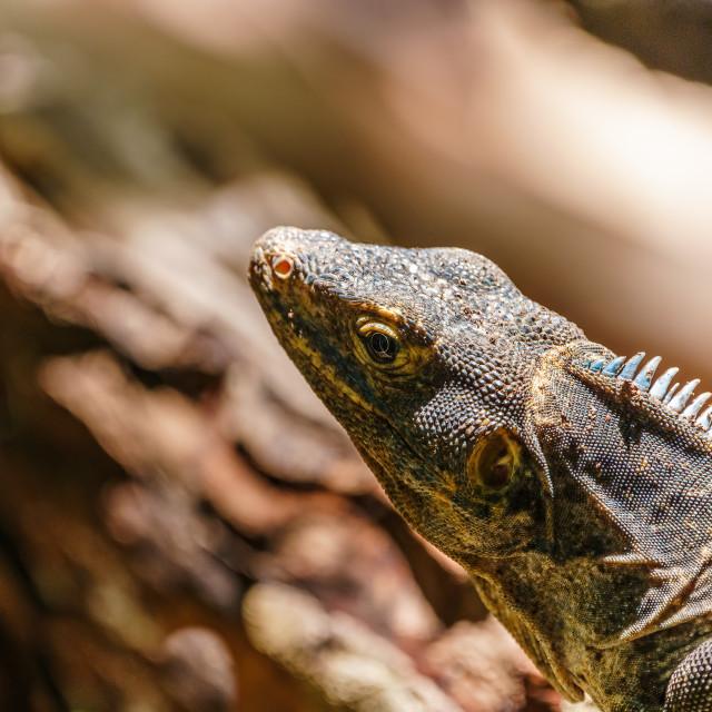 """Black Spiny Tailed Iguana (Ctenosaura similis) portrait, taken in Costa Rica"" stock image"
