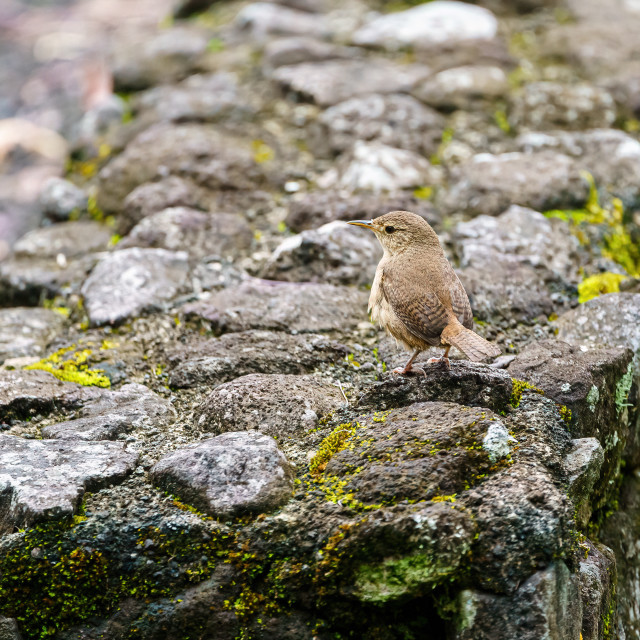 """House Wren (Troglodytes aedon) on a stone wall in Costa Rica"" stock image"