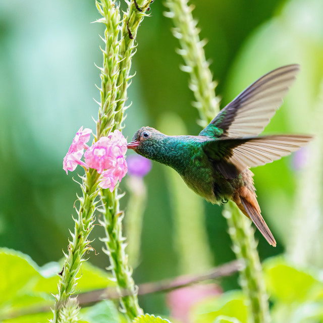 """Rufous-Tailed Hummingbird (Amazilia tzacatl) in flight, taken in Costa Ric"" stock image"