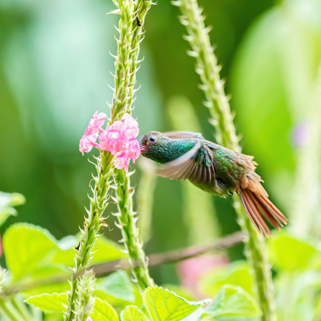 """Rufous-Tailed Hummingbird (Amazilia tzacatl) feeding, taken in Costa Ric"" stock image"