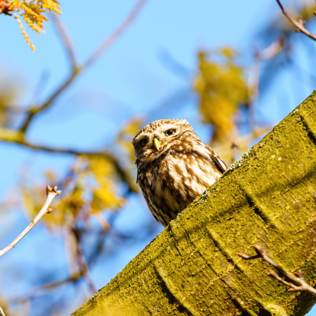 """Little Owl (Athene noctua) perched on a tree trunk, taken in the UK"" stock image"