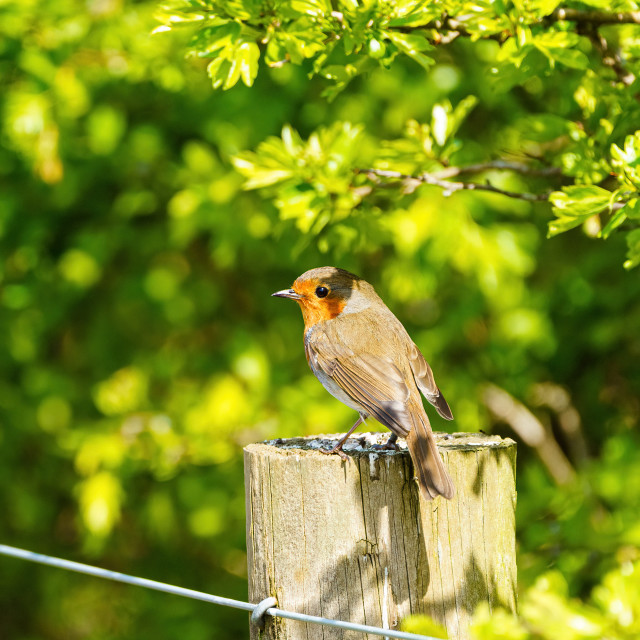 """European Robin (Erithacus rubecula) perched on a fence post in summer"" stock image"
