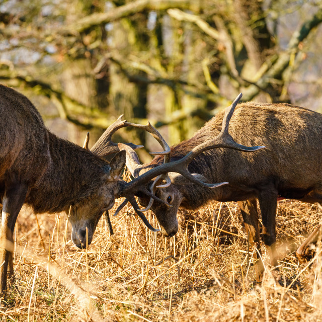 """Red deer (Cervus elaphus) locking antlers, taken in the UK"" stock image"