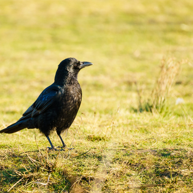 """""""Carrion crow (Corvus corone) on the ground, taken in the UK"""" stock image"""