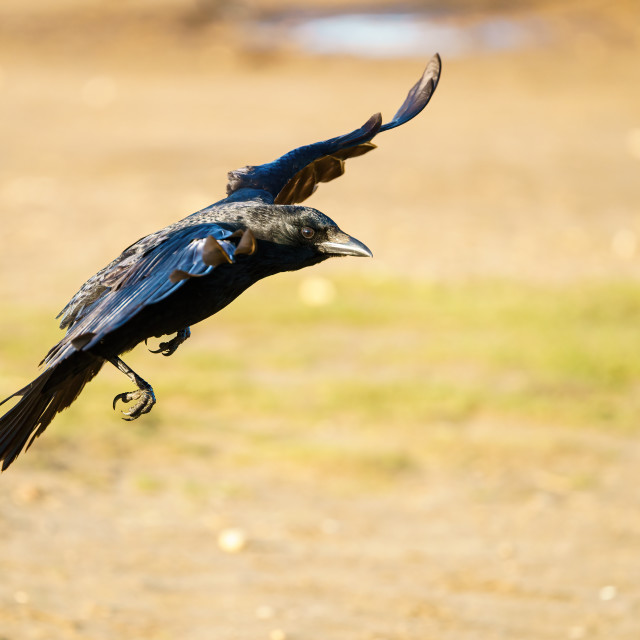"""Carrion crow (Corvus corone) in flight, taken in the UK"" stock image"