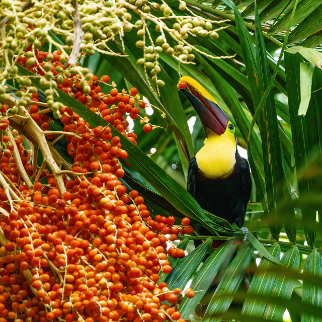 """Chestnut-mandibled Toucan (Ramphastos swainsonii) picking a beryy from a palm..."" stock image"