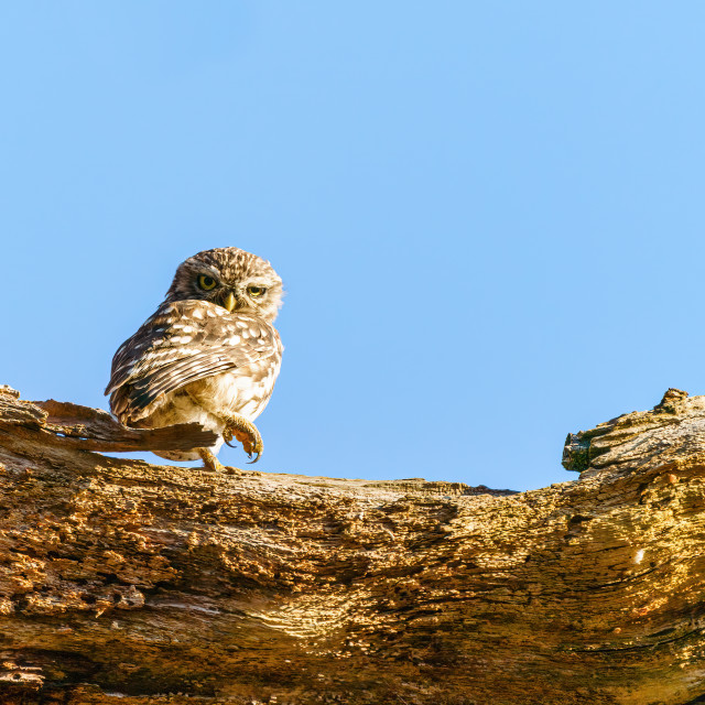 """Little Owl (Athene noctua) standing on a tree branch, staring into camera,..."" stock image"