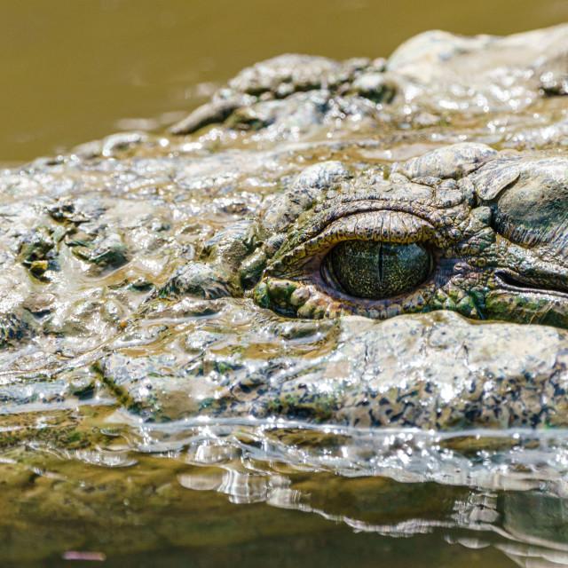 """Close-up of American Crocodile (Crocodylus acutus), taken in Costa Rica."" stock image"