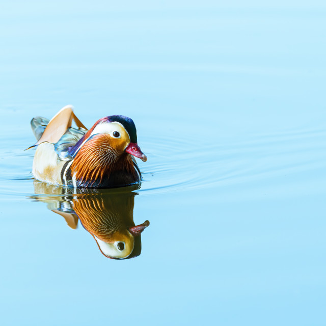 """Mandarin Duck (Aix galericulata) on a still pond, taken in the UK"" stock image"