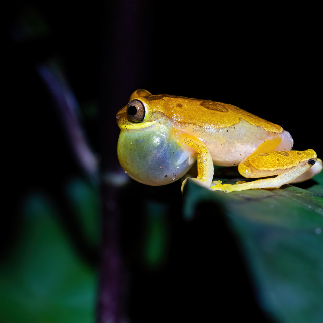 """Hourglass Tree Frog (Dendropsophus ebraccatus)"" stock image"