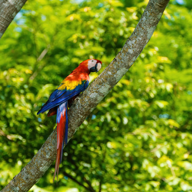 """Scarlet Macaw (Ara macao) on a tree trunk in Alajuela, Costa Rica"" stock image"