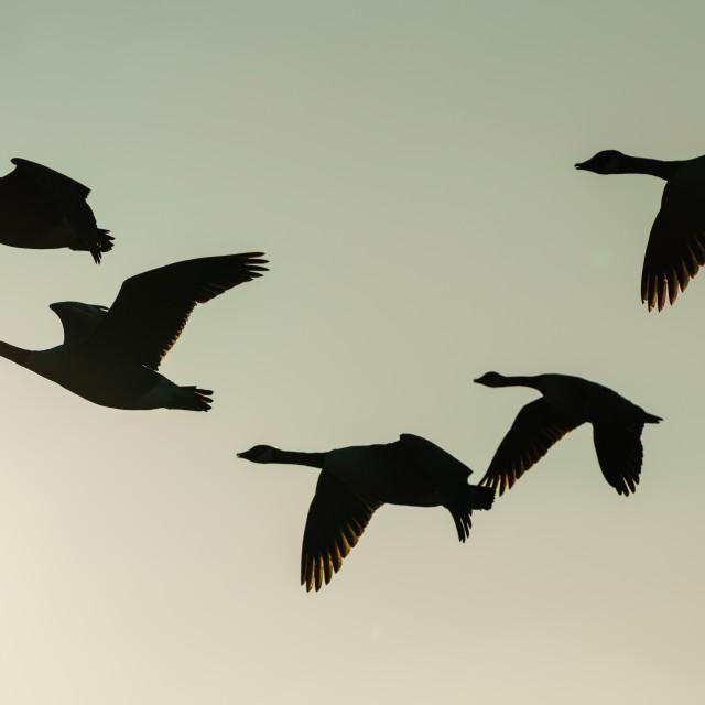"""Silhouette of Canada Goose (Branta canadensis) in flight"" stock image"