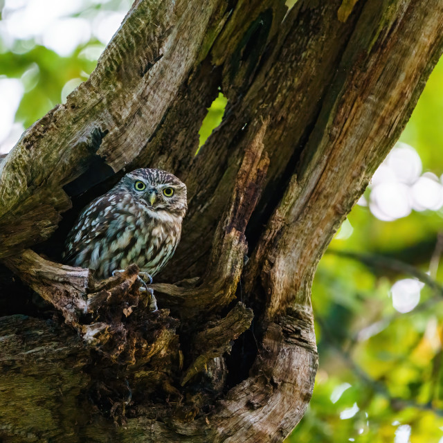 """Little Owl (Athene noctua) emerging from it's hole in a tree, in England"" stock image"