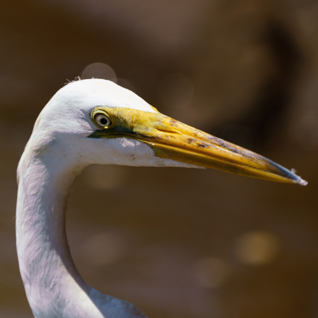 """Great Egret (Ardea alba) portrait, taken in Alajuela, Costa Rica"" stock image"