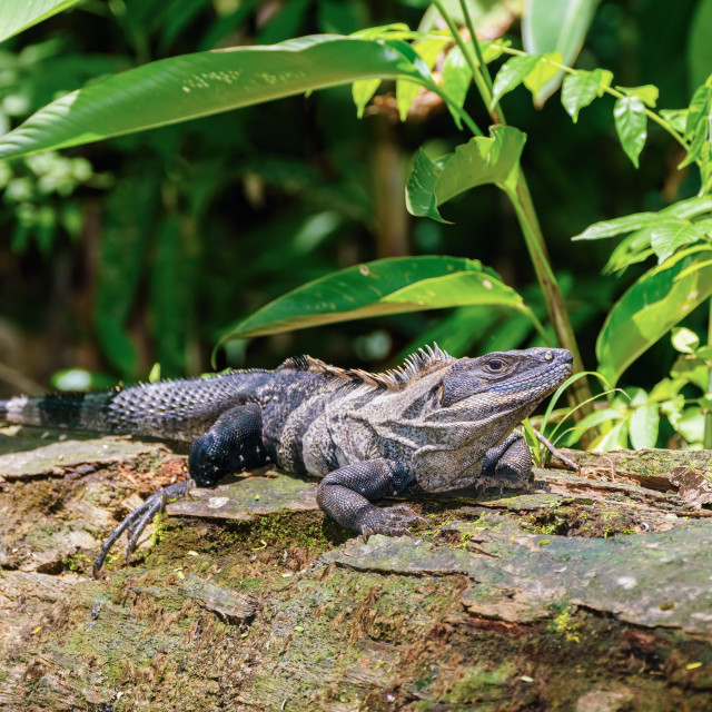 """Black Spiny Tailed Iguana (Ctenosaura similis) in a forest clearing, taken..."" stock image"