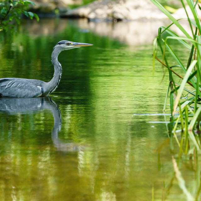 """Grey Heron (Ardea cinerea) on a small river, taken in UK"" stock image"