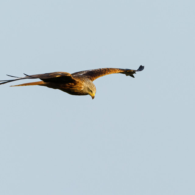 """Red Kite (Milvus milvus) in flight against a clear sky, taken in the UK"" stock image"