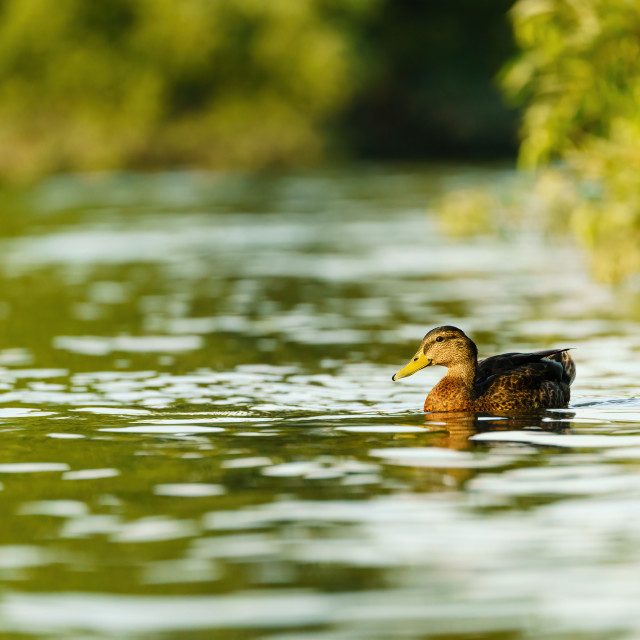 """Mallard Duck (Anas platyrhynchos) female swimming along the thames one..."" stock image"