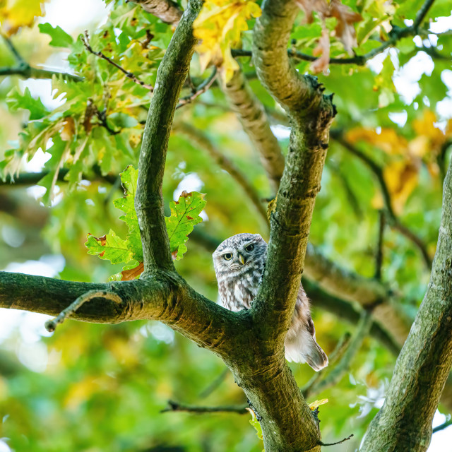 """Little Owl (Athene noctua) staring into camera, taken in UK"" stock image"