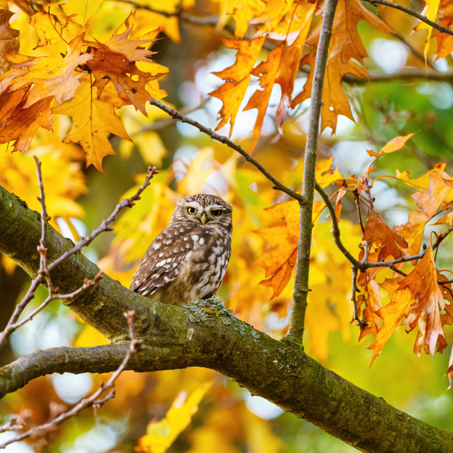 """Little Owl (Athene noctua) surrounded by autumn leaves, looking to camera, in..."" stock image"