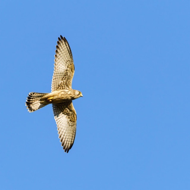 """Profile of a Common Kestrel (Falco tinnunculus) in flight, taken in England"" stock image"