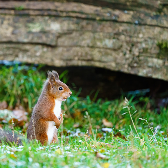 """""""red squirrel (Sciurus vulgaris) sitting on the ground with a nut in it's..."""" stock image"""