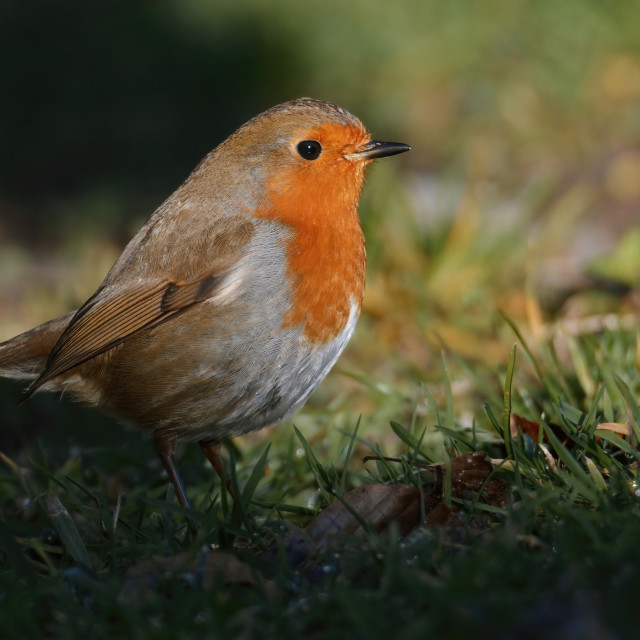 """Robin peeking out from the shadows"" stock image"